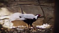 Faisán de plata en el hábitat del zoológico