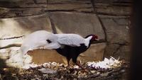 Silberfasan im Zoo-Lebensraum
