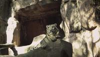 Snö Leopard I Zoo Habitat