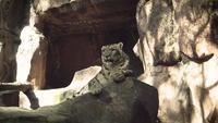 Snow Leopard tittar på kameran