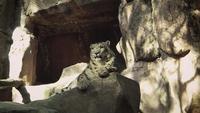 Leopardo da neve descansando no habitat do jardim zoológico