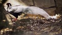 Silver fasan går i Zoo Habitat