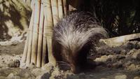 Porcupine In Zoo Habitat Slow Motion