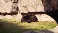 Urso no zoológico Habitat Slow Motion