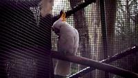 Cockatoo In Zoo Habitat Slow Motion