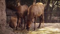 Reindeers In Zoo Habitat Slow Motion