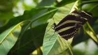 Black-and-yellow-butterfly-on-leave-2362