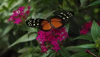 Black And Orange Butterfly On Pink Flowers
