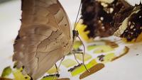 Butterfly Eating Kiwifruit On White Plate