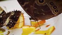Butterfly-eating-orange-on-white-plate-2360