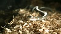 Snake in ultra slow motion (1500 fps) - SNAKES PHANTOM 005