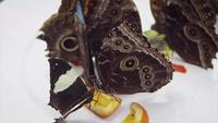 Butterflies Eating Fruit