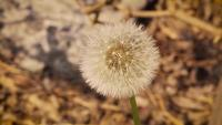 Close Up Of  Dandelion In Garden