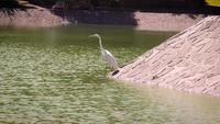 White Heron I Artificial Lake Chapultepec Mexico