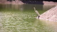 Heron In Artificial Lake Chapultepec Mexico