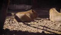 Twee Capybaras In Zoo Habitat