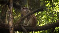 Macaque On Tree Branches In Zoo Habitat
