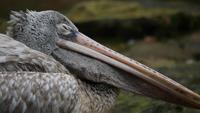Grey pelican or spot-billed pelican lie down. Wildlife animals.
