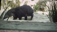 Close Up De Tapir En Zoo Habitat