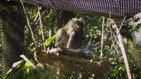 Spider Monkey On Swing In Zoo Habitat