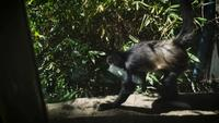 Spider Monkey Walking In Zoo Habitat