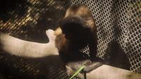 Tufted Capuchin Monkeys in Zoo Habitat