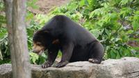Life of wildlife Asian black bear in forest