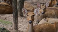 kleine Hirsche in die Wildnis in die Kamera schaut