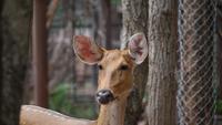 Närbild på en liten hjort som går i naturen