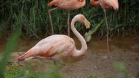Flock of beautiful flamingos in natural environment
