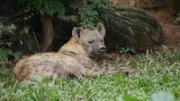 Vida de hiena em selvagem