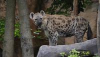 Hyena som bor i naturen