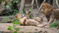 Lion (panthera leo) couple relax in the wild