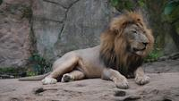 Life of Lion (panthera leo) relax in the wild