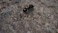 Close up of black house ants working together in nature