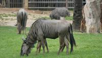 wildebeest eating grass in nature