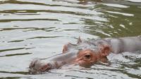 A vida de um hipopótamo deitado no lago