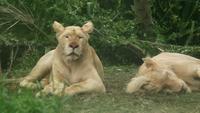 Weibliche Löwen, die sich in der Natur hinsetzen
