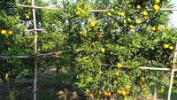 Bauernmannblick Orangenbaum im orange Garten