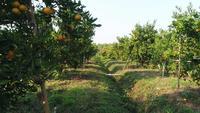Landwirtblick auf orange Obstbaumfarm im orange Garten