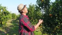 Mirada del granjero del hombre en la granja del árbol frutal anaranjado en el jardín anaranjado