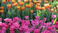 Tulpenblume mit grünem Blatthintergrund auf dem Tulpengebiet am Winter- oder Frühlingstag
