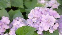 Purpurrote Hydrangeablume und grüner Blatthintergrund im Garten am sonnigen Sommer- oder Frühlingstag
