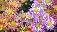 Daisy bloem en groene bladachtergrond in bloemtuin bij de zonnige zomer of de lentedag