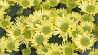 Yellow flower and green leaf background in garden at sunny summer or spring day.