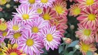 Gänseblümchenblume und grüner Blatthintergrund im Blumengarten am sonnigen Sommer- oder Frühlingstag.