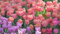 Tulip flower and green leaf background in tulip field at winter or spring day.