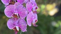 Orchideenblume im Orchideengarten am Winter- oder Frühlingstag. Phalaenopsis-Orchidee