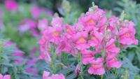 Pink Snapdragon flower in garden at sunny summer or spring day.