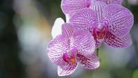 Flor de la orquídea en el jardín en invierno o día de primavera. Orquídea Phalaenopsis.